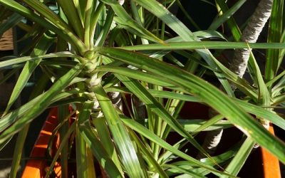 Adelaide bamboo tropical plants experts jungle in willunga for Nasa indoor plant list