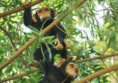 Chimps Jungle