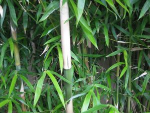 Gold stripe bamboo web.jpg