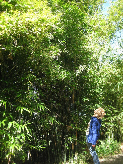 Oldham's Bamboo