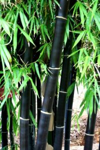 Running black bamboo