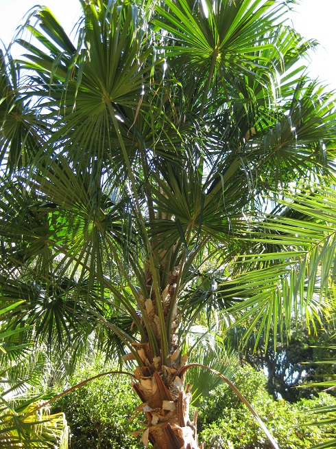 wine-palm Palm Tree Types Of Houseplants on types of indoor palms, types of bamboo houseplants, common palm houseplants, types of trees in florida, types of lily houseplants,