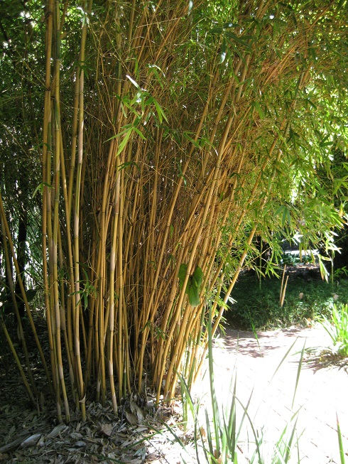 screening bamboo ideal for adelaide