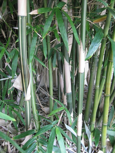 Gold Stripe Bamboo