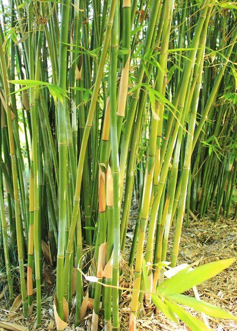 Slender Weavers Bamboo