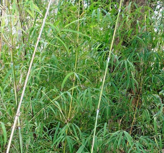 Himalayan Weeping Bamboo