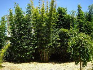 hazel bamboo