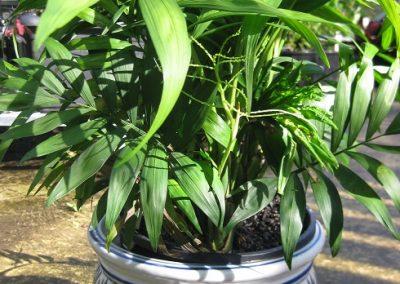 Parlour palm pot