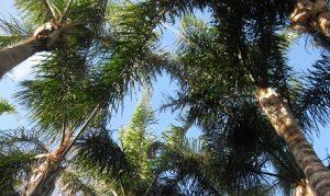 cocos-palm