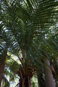 dwarf-date-palm-jiw