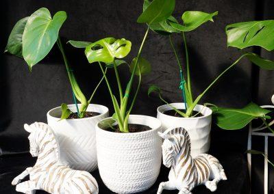 Monstera Plant JIW