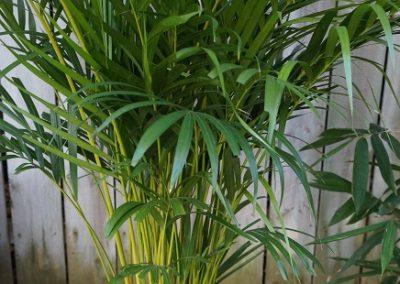 Golden Cane Jungle in Willunga