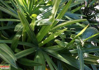 Rhapis palm large